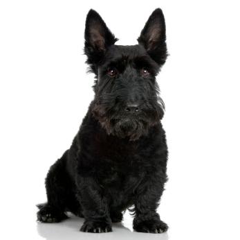 Scottish terrier 9 years